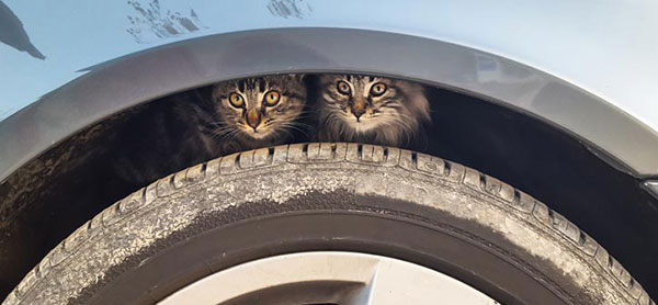 Cats under wheel arch in winter.