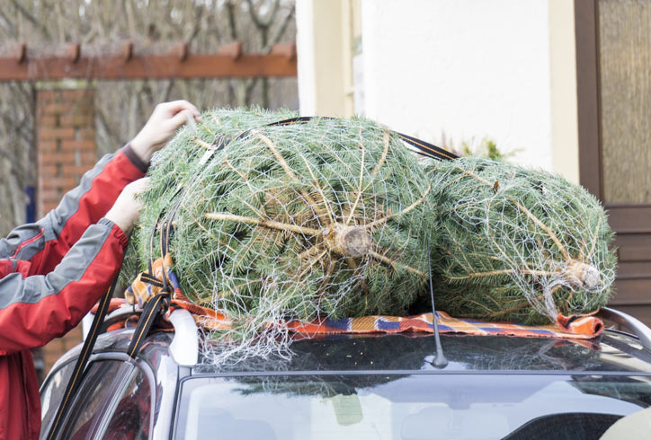 Tying Christmas Trees onto a car